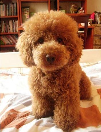 贵宾犬和泰迪的区别_贵宾犬吃哪种狗粮好_泰迪熊专卖店