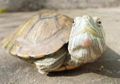 小巴西龟怎么养