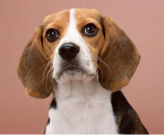 宠物狗种类之比格犬