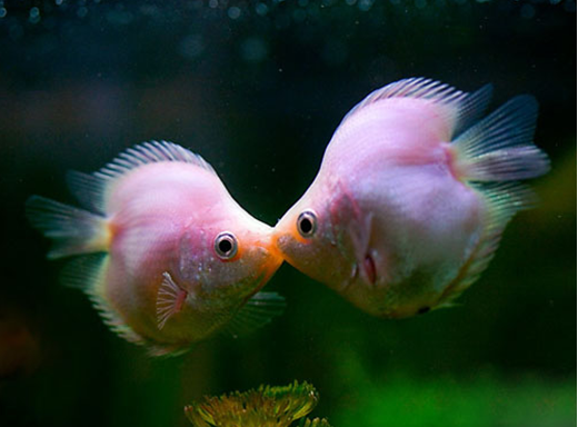 接吻鱼为什么会接吻_接吻鱼吃什么_接吻鱼吃小鱼吗_淘宝助理
