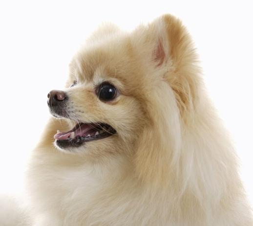 狮子狗价格_在柳州一只中型的哈巴狗要多少钱