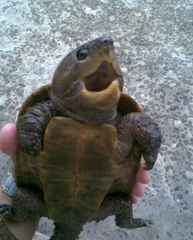 鹰嘴 龟 价格 是 多少 呢 鹰嘴 龟 是 一个 奇特 的