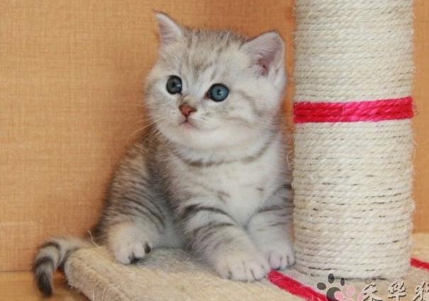 宠物猫种类之英国短毛猫
