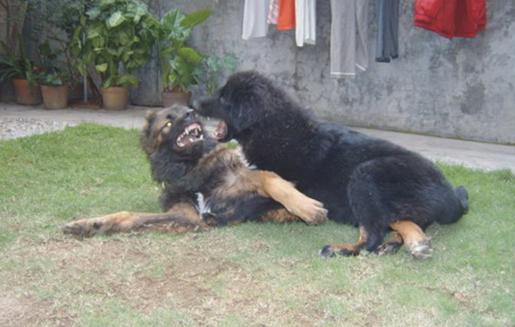 高加索犬与藏獒图片