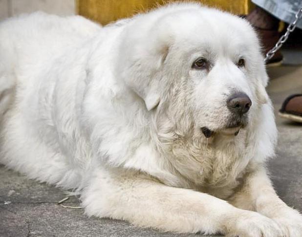 白熊犬_小白熊犬是串串吗_白熊犬