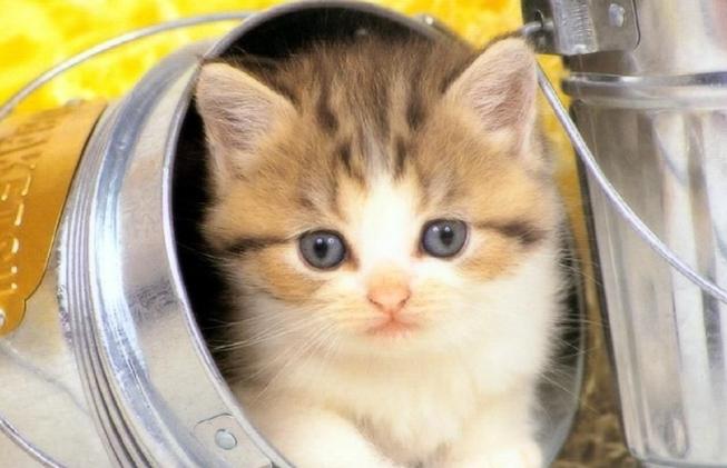 布偶猫多少钱?