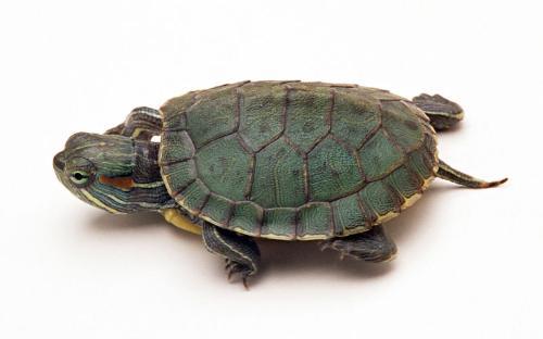 巴西龟/巴西龟图片
