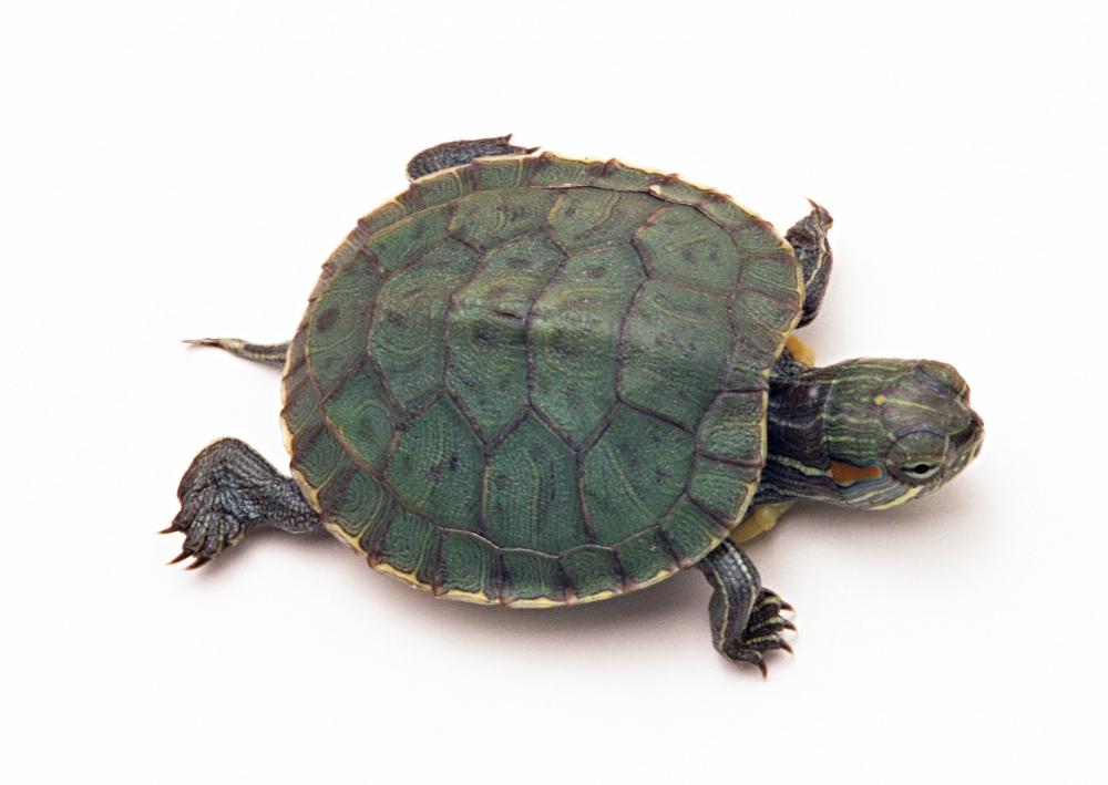 小乌龟浮在水面_如何养好幼龟 - 58同城