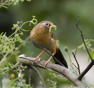 如何辨别画眉鸟雌雄