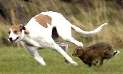 撵兔视频,2014年灵缇狗猎兔视频,灵缇狗,灵缇狗追兔子 ...